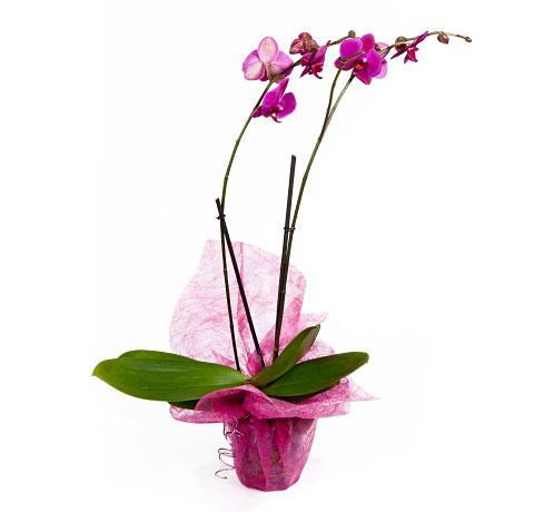 Orquídea rosada. Online 024