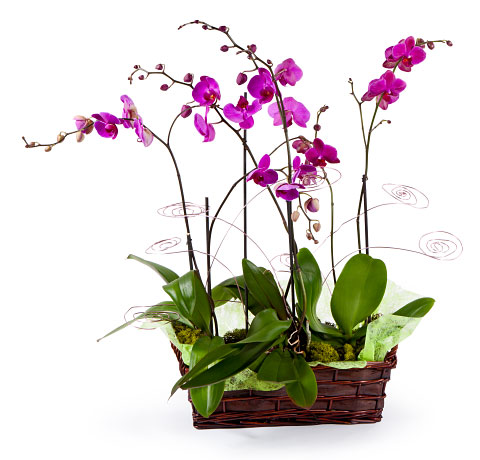 Agrupamiento de Orquídeas en base rústica. Online 020