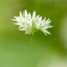 Das Bild zeigt eine einzelne Bärlauchblüte