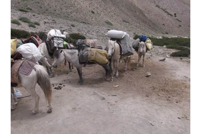 Packhorses in Ladakh