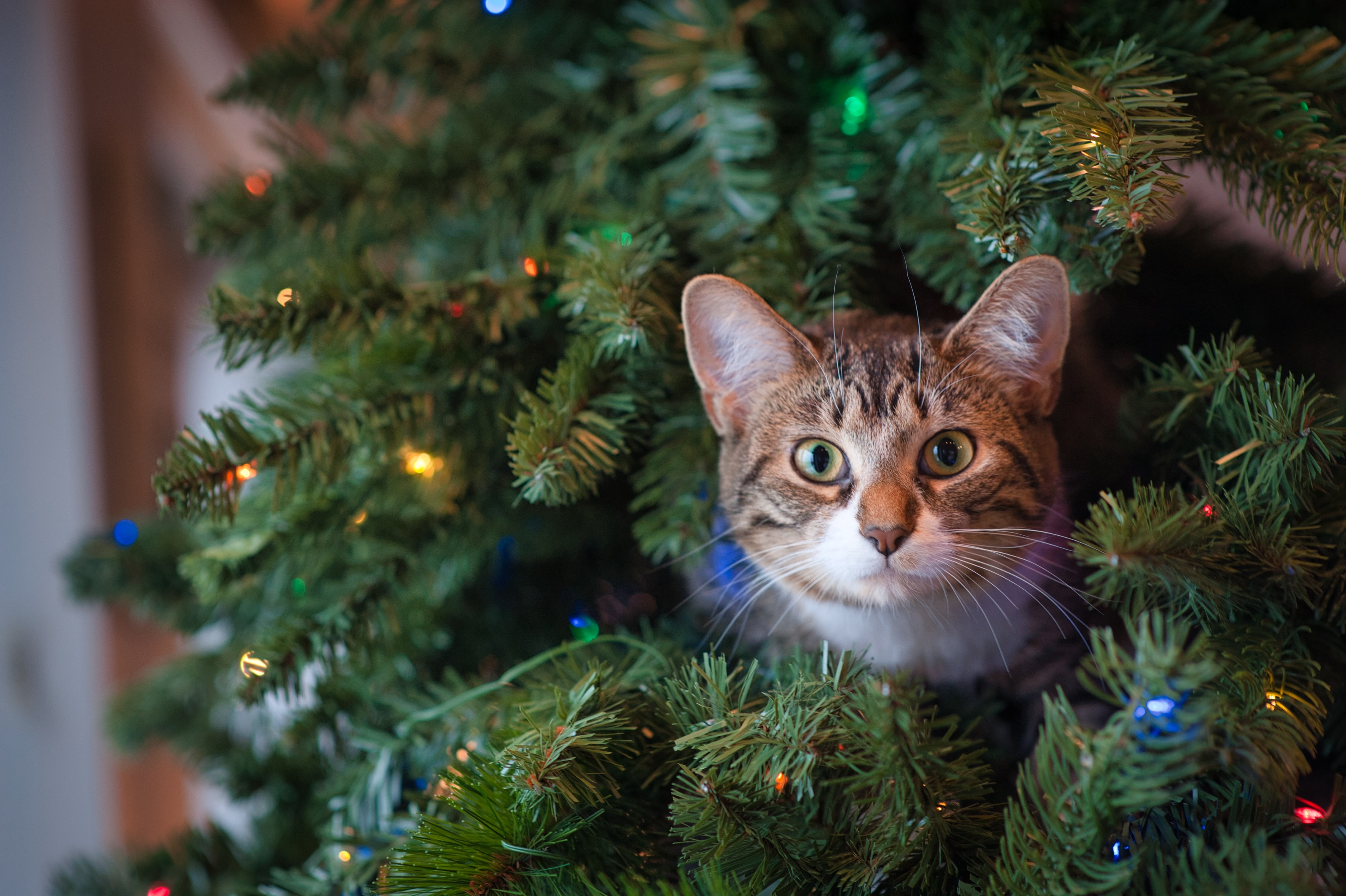 cat hiding in the christmas tree