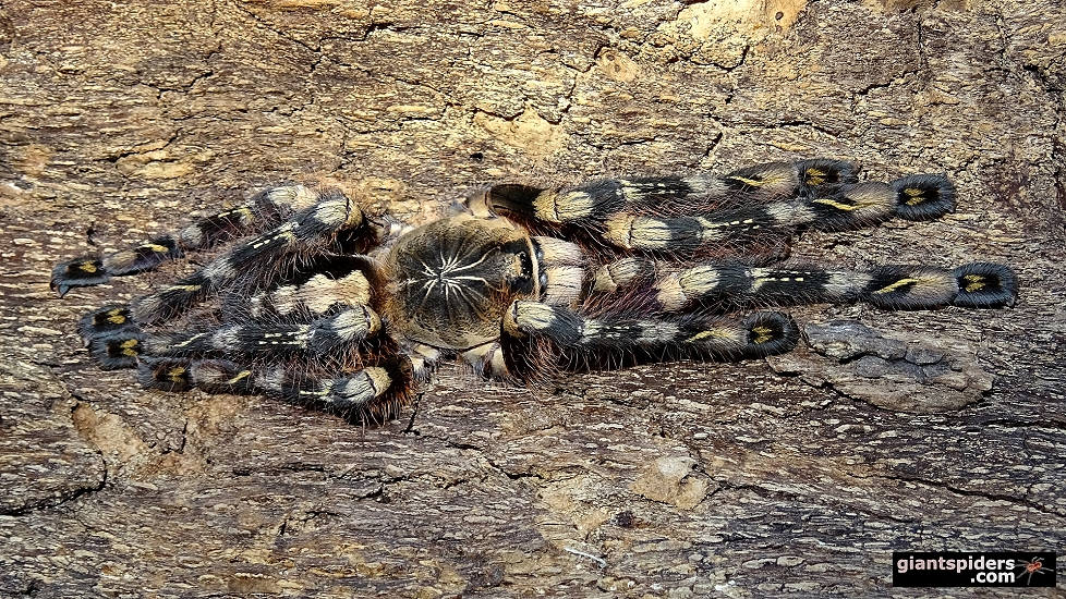 Ivory ornamental spiderlings (Poecilotheria subfusca 'Highland')