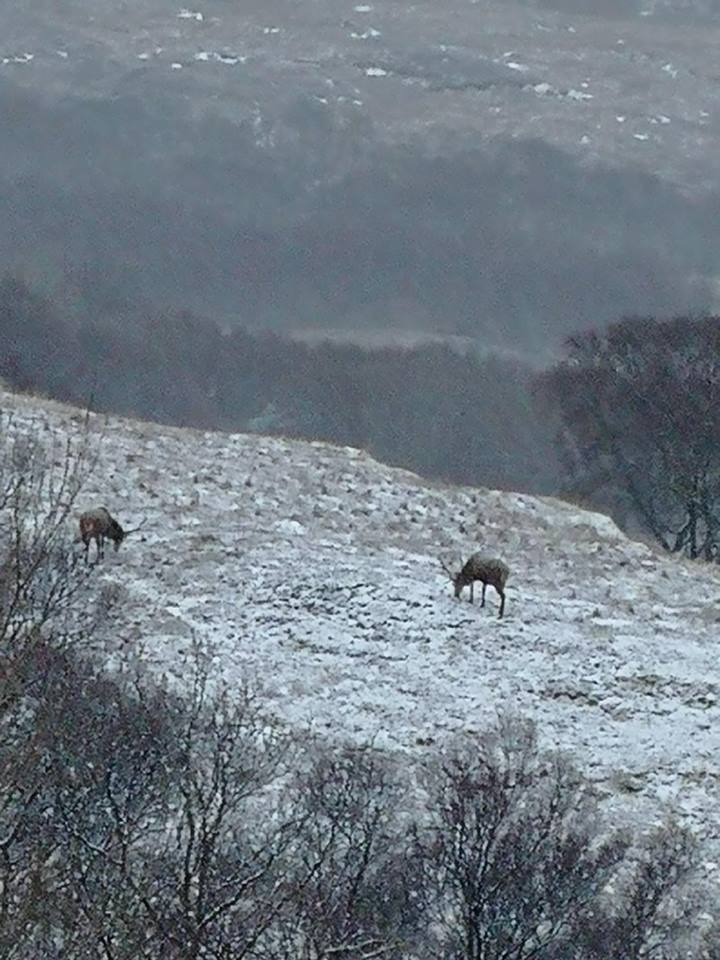 Deer in Ullapool