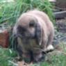Eddie the brown lop sitting in the garden