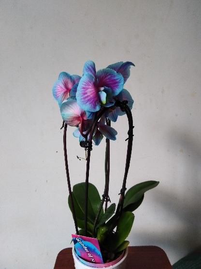 Orchidée de couleur au choix