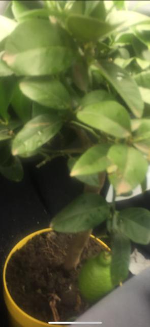 Citronnier Jaune et Vert