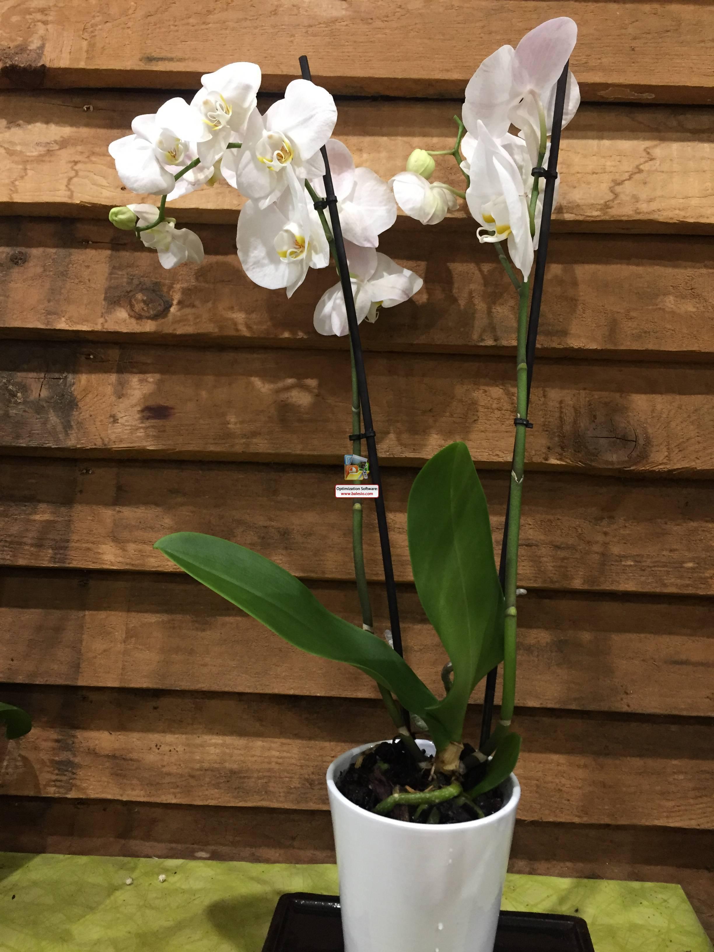 Orchidée blanche 1 avec vase