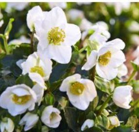 Hélébore blanche