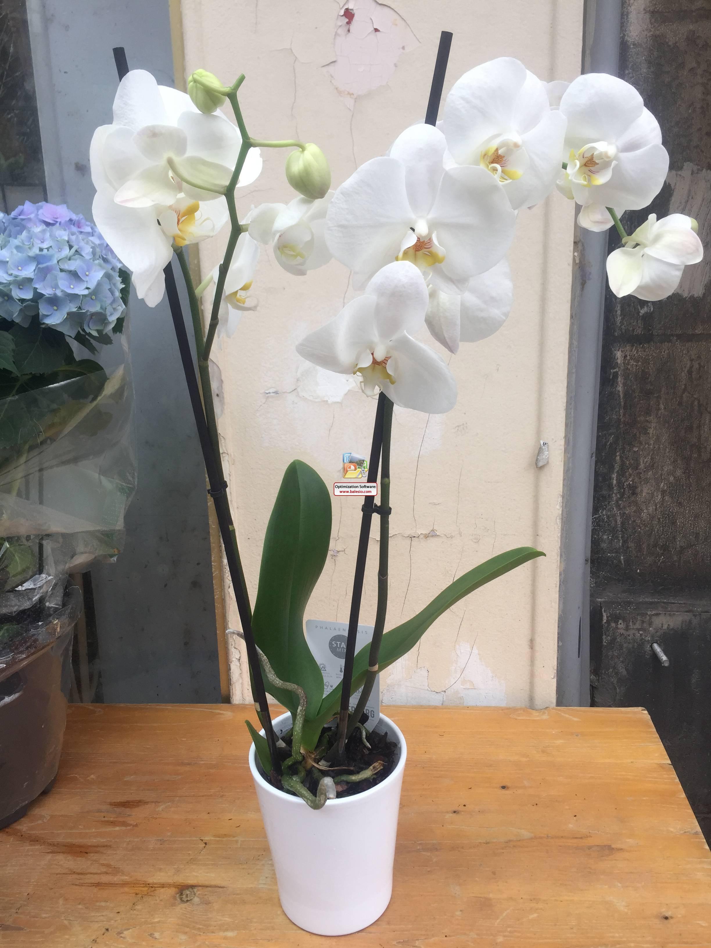 Orchidée blanche 2 avec vase