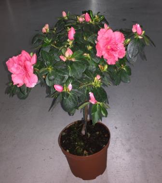 Azalée rose clair en Pot