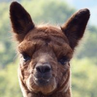 Introduction to Owning Alpacas